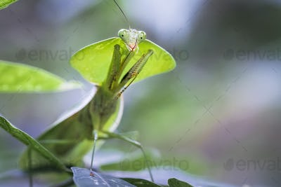Hooded Mantis Insect in Costa Rica