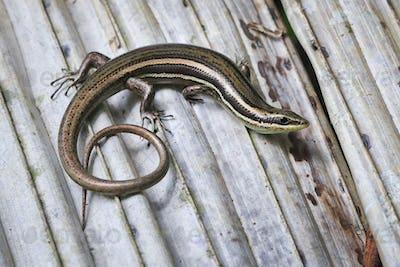 Litter Skink Lizard in Costa Rica