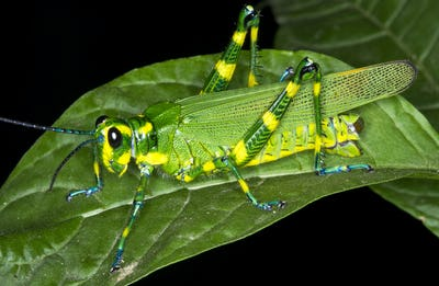 Chromacris Grasshopper at Night in Costa Rica