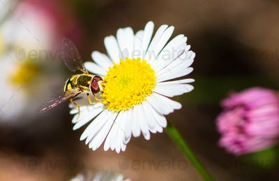 Hoverfly on a Daisy Flower in Australia