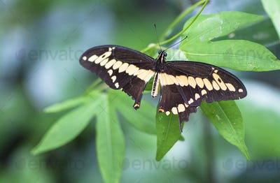 Thoas Swallowtail Butterfly in Costa Rica