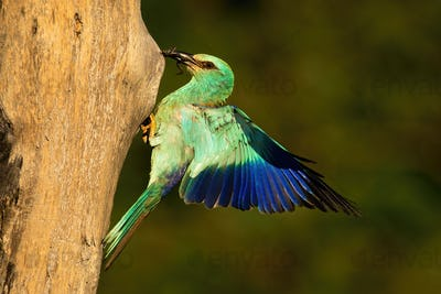 European roller holding frog in beak and landing on nest to feed young