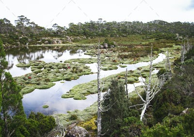 Tufts of Silvery Grass in a Wetland in Tasmania