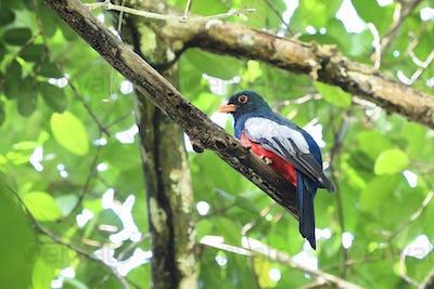 Slaty-tailed Trogon Bird Perched in Costa Rica