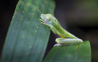 Scarlet-webbed Treefrog Sleeping in Costa Rica