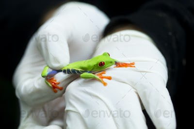 Red-eyed Treefrog Handled by a Scientist in Costa Rica