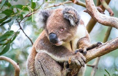 Koala in a Eucalyptus Tree in Australia
