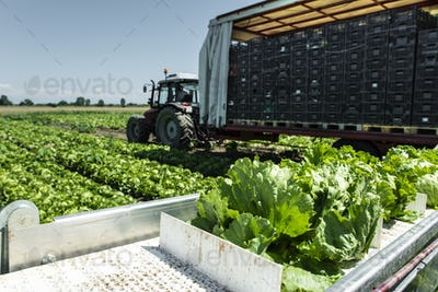 Tractor with production line for harvest lettuce automatically.