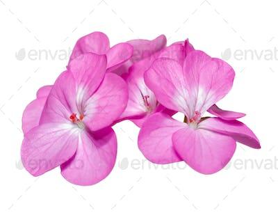 Pink Geranium flower on isolated white background