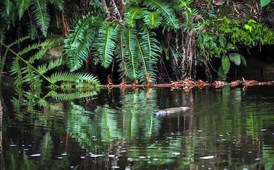Duck-billed Platypus in the Water in Tasmania