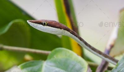 Brown Vine Snake Up Close in Costa Rica