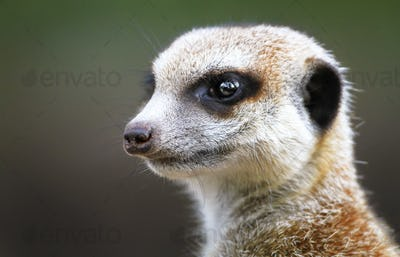 Meerkat Head Up Close