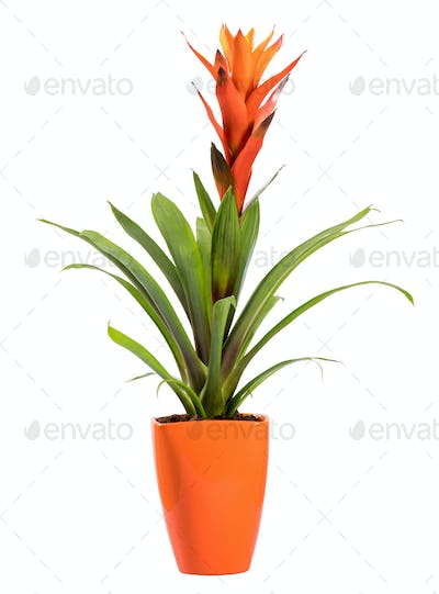 Flowering potted Guzmania plant isolated on white