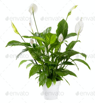Potted Spathiphyllum plant with white flowers