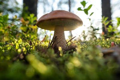 Mushroom orange cap Boletus edulis in forest.