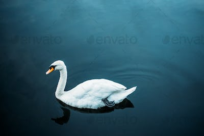 Swan swimming in a pond