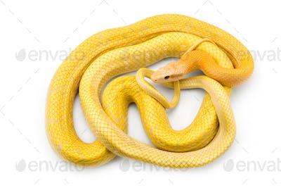 Beauty rat Snake albino isolated on white background