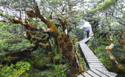 Moss-covered Trees Along a Walkway in New Zealand