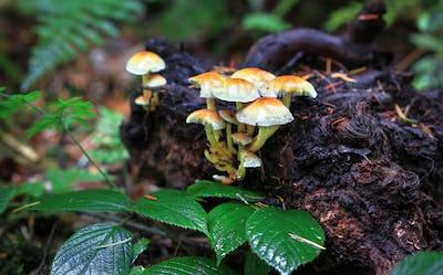 Sulfur Tuft Mushrooms in England