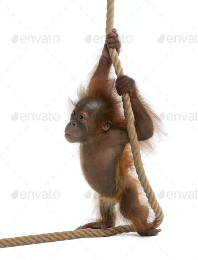 Baby Sumatran Orangutan, 4 months old, holding onto rope in front of white background