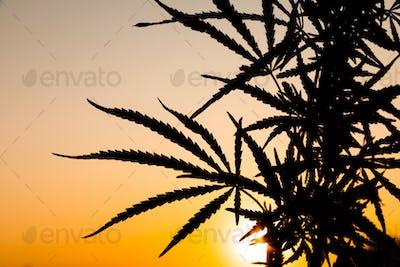Green bushes of marijuana. Close up view of a marijuana cannabis bud