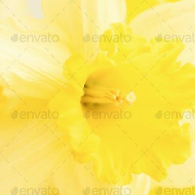 Macro Photo of Yellow Daffodil.