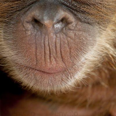 Close-up of baby Sumatran Orangutan's nose and mouth, 4 months old