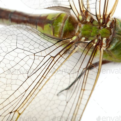 Close-up of old Emperor dragonfly, Anax imperator, in front of white background