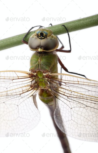 Close-up of old Emperor dragonfly, Anax imperator, on blade of grass in front of white background