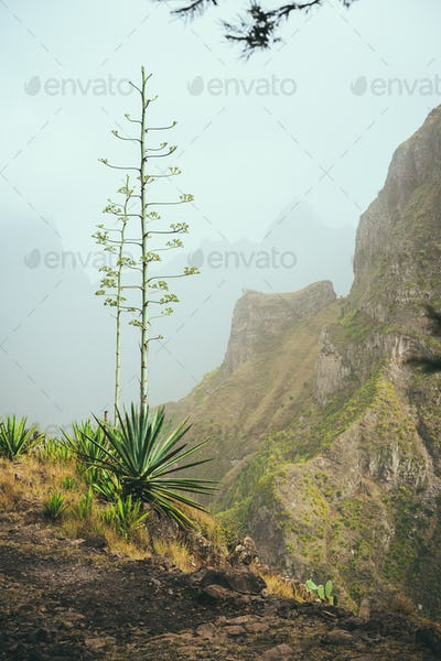 Blossom flower of Agave on the path edge hight in mountains. Santo Antao Island, Cape Verde Cabo