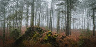 Mysterious pine forest. Rainly and misty weather on Santo Antao Island, Cape Verde