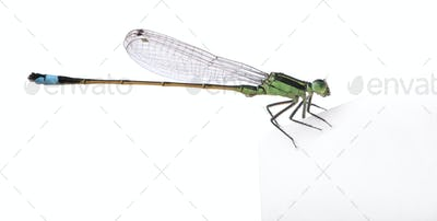 Dragonfly, Coenagrionidae, in front of white background, studio shot