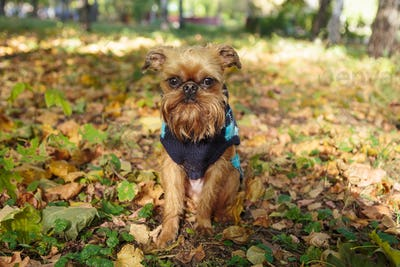 Brussels Griffon dog on a walk