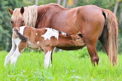 Brown foal suckling from mare