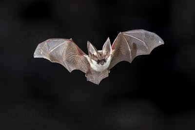 Flying Grey long eared bat