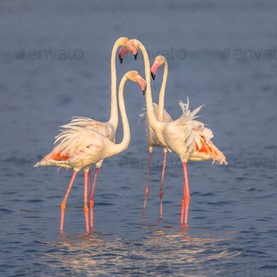 Four Flamingos socialising