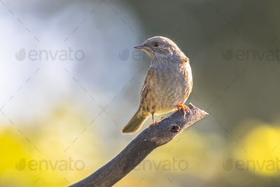 Dunnock perched on branch looking to side