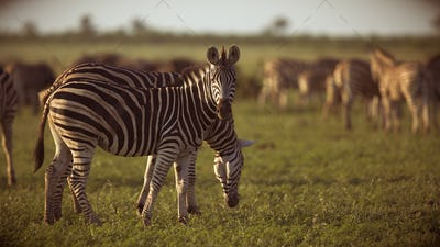 Common Zebras foraging