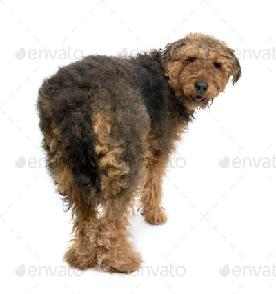Rear view of Airedale dog, 1 year old, standing in front of a white background