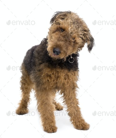 Airedale, 1 year old, standing in front of a white background, studio shot