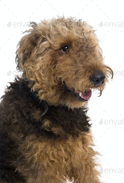 Airedale, 1 year old, sitting in front of a white background, studio shot