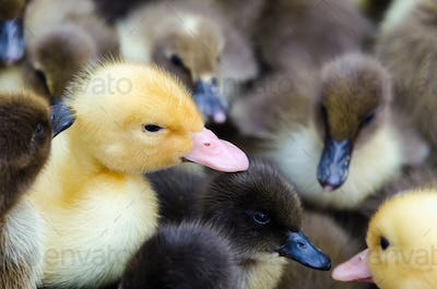 Gosling and ducklings for sale
