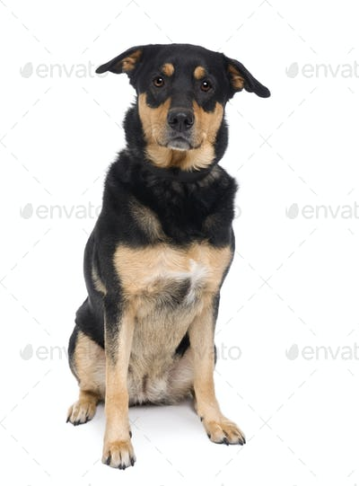 Bastard dog, 3 years old, sitting in front of a white background, studio shot
