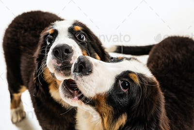 Studio shot of berner sennenhund puppies on white studio background