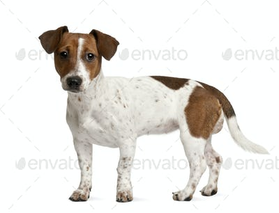 Jack Russell Terrier puppy (7 months old), standing in front of a white background