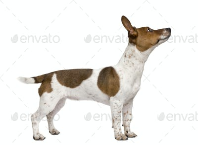 Jack Russell Terrier puppy, 7 months old, standing in front of a white background