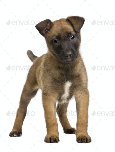 Belgian Shepherd Dog, 7 weeks old, standing in front of a white background