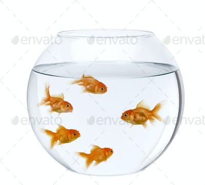 Five goldfish in fish bowl, in front of white background