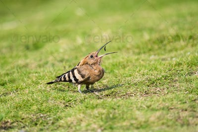 eurasian hoopoe eating insect