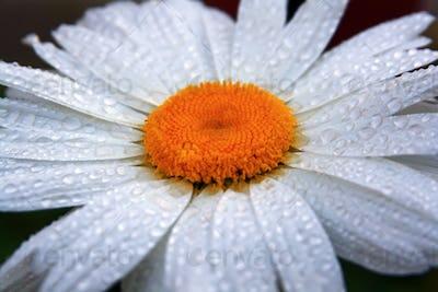 Chamomile in drops of dew